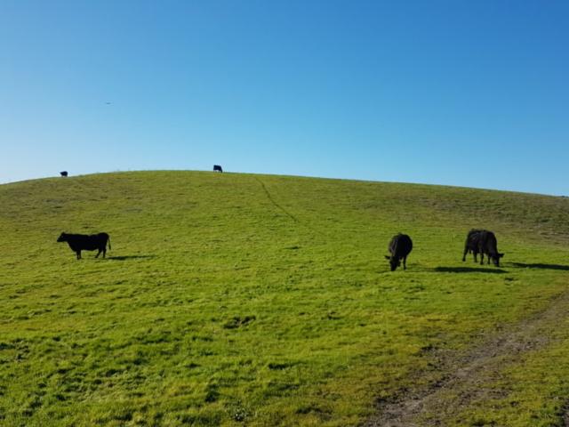 les vaches sur le Calaveras trail de Dublin Californie