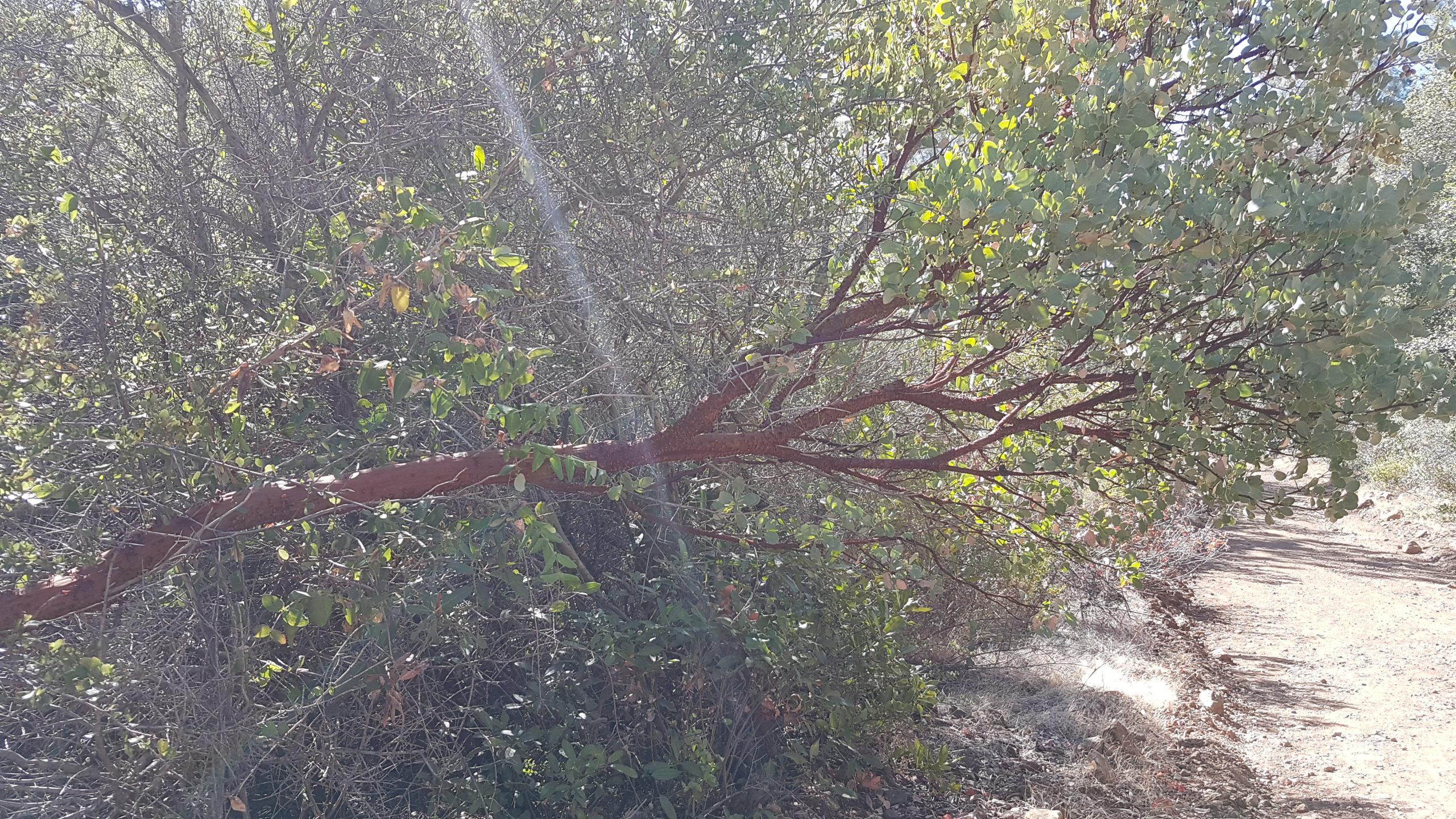 De drôles d'arbres à l'écorce rouge que nous avons croisé à plusieurs endroits.